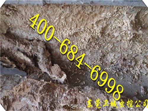 怎么知道家里是否有白蚁巢?-长安白蚁防治公司